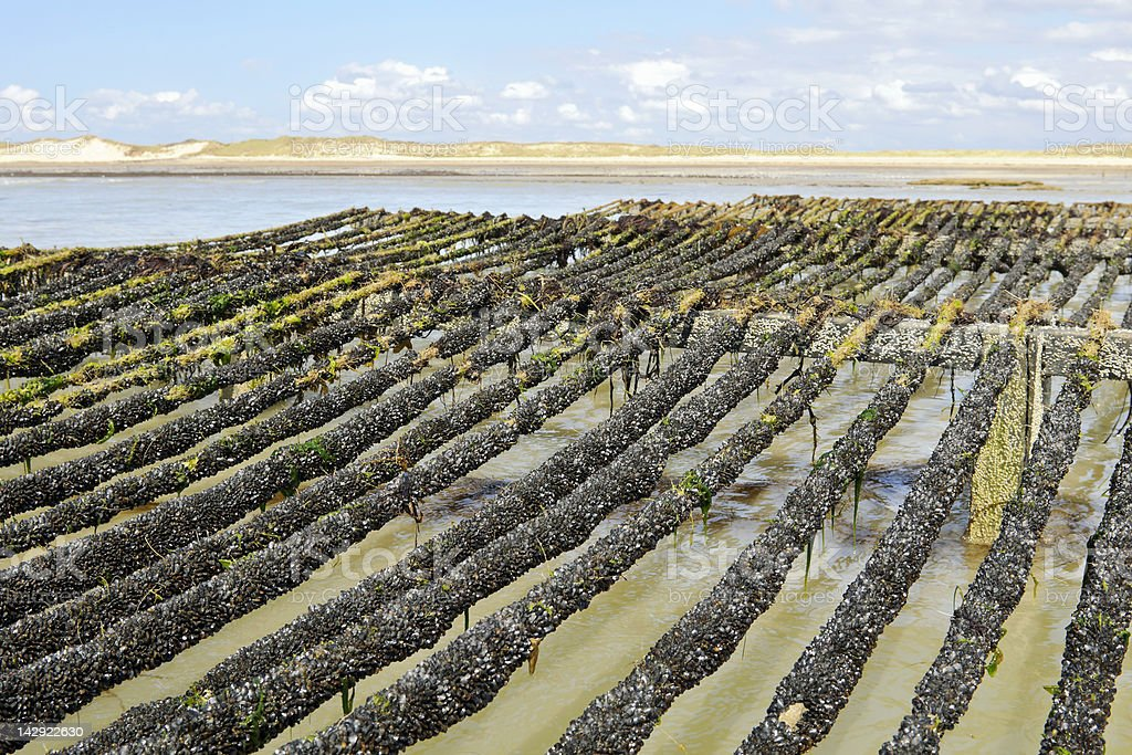 mussel farm in the sea of Normandy France stock photo