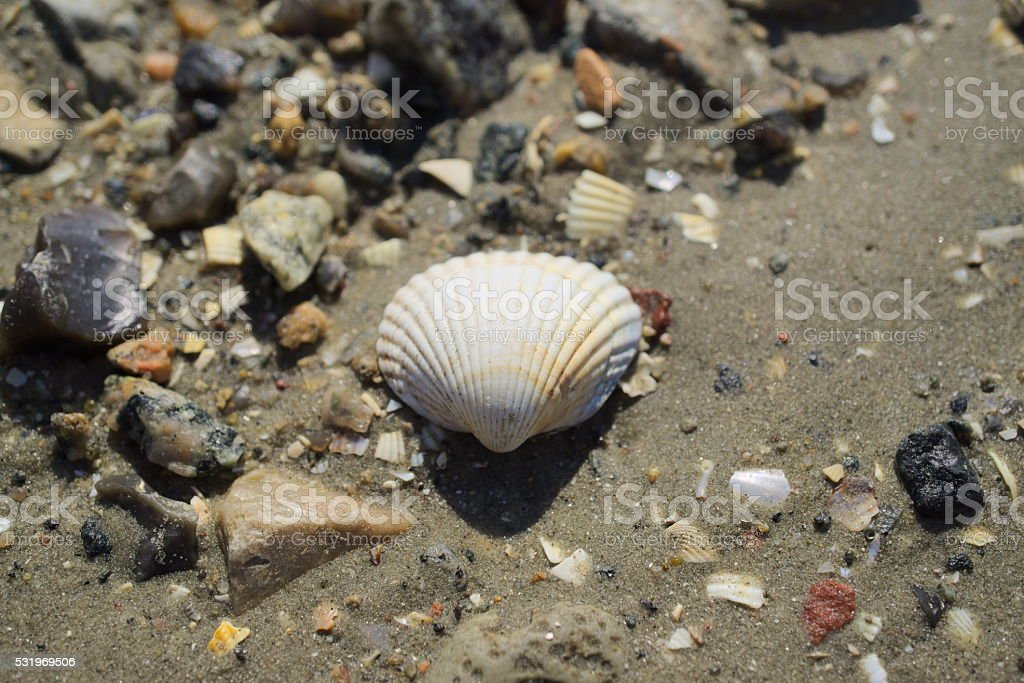 mussel in the mud stock photo