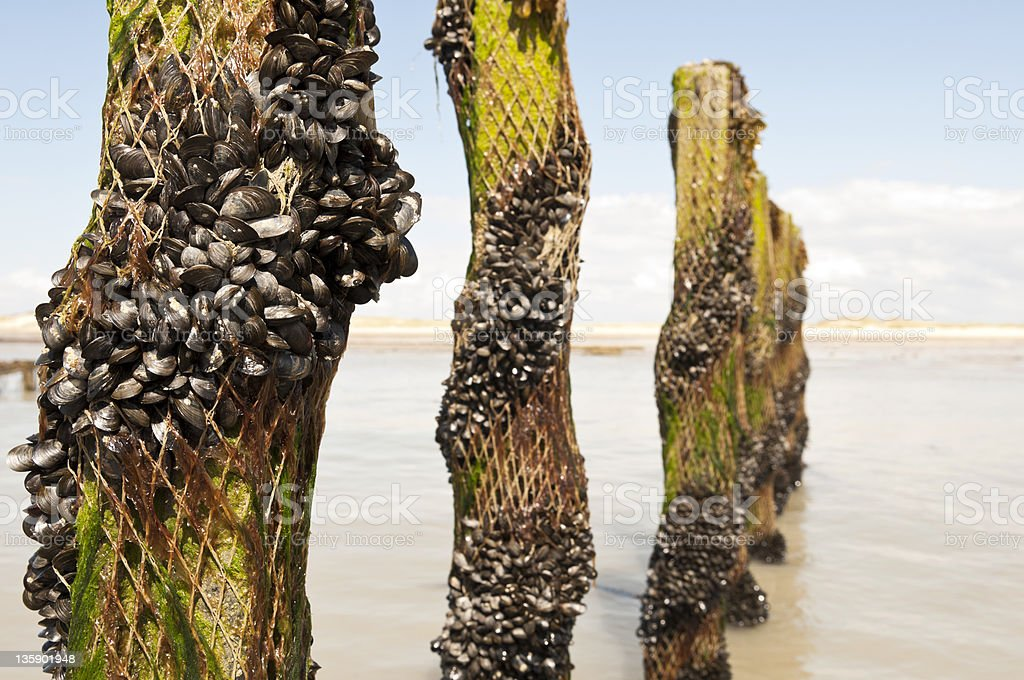 mussel plantation in Normandy France stock photo