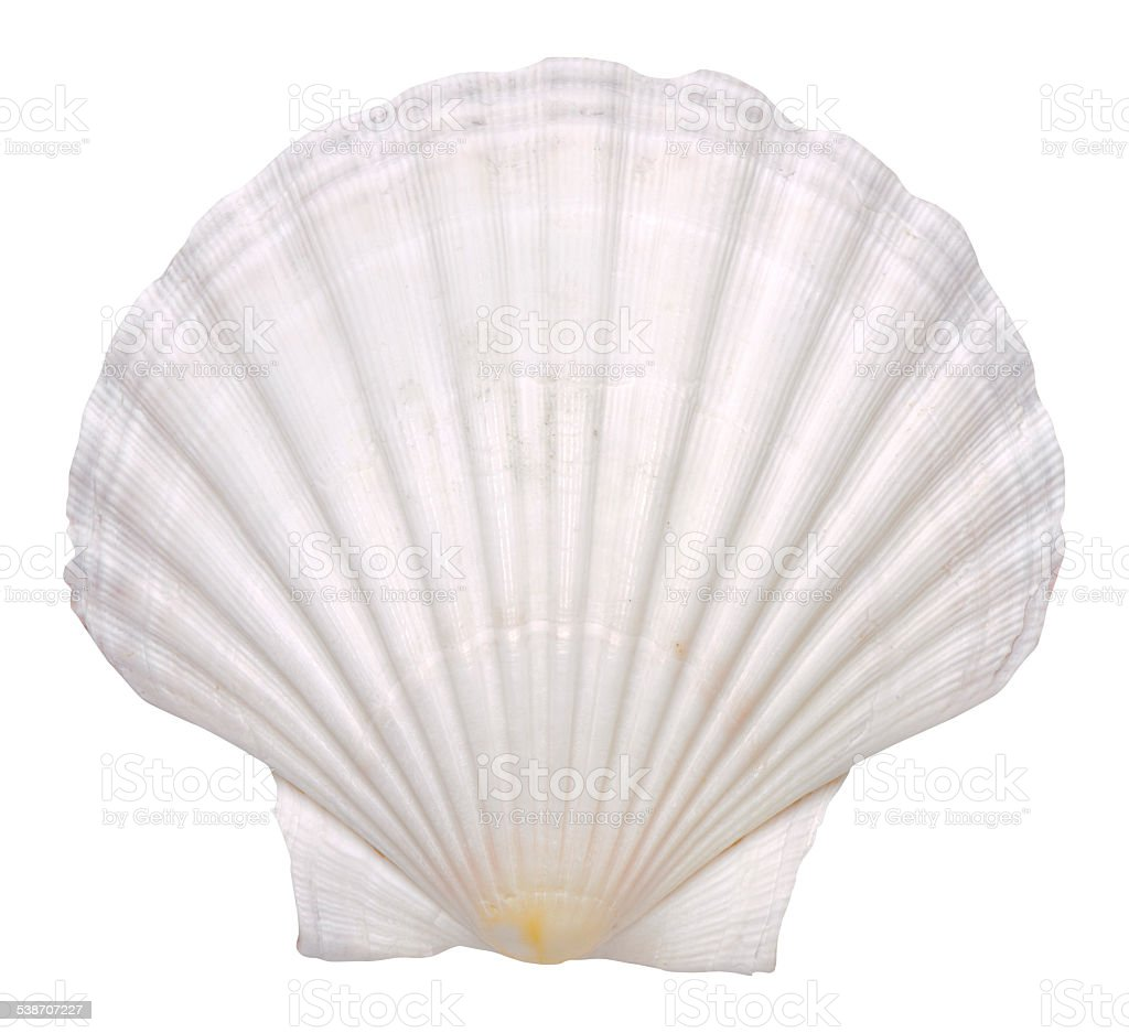 mussel shell stock photo