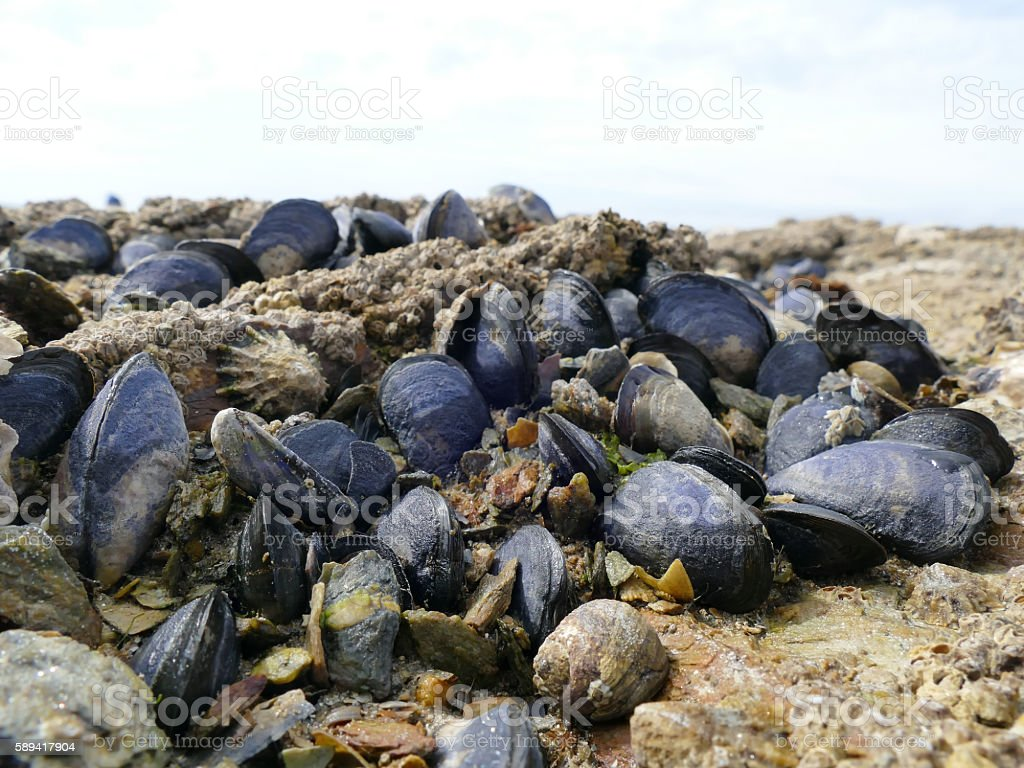 Mussels and barnacles close up on beach rocks stock photo