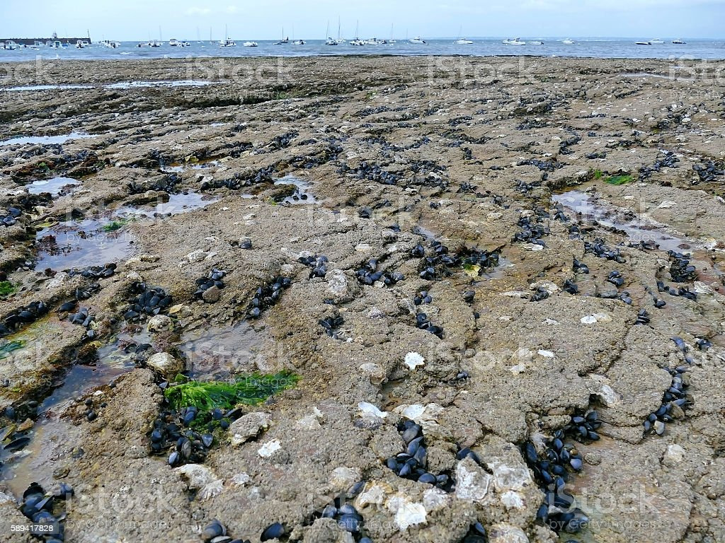 Mussels and oysters on beach rocks at low tide stock photo
