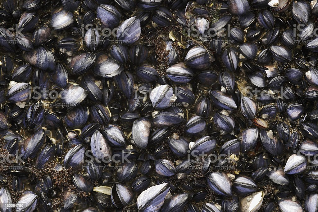 Mussels royalty-free stock photo