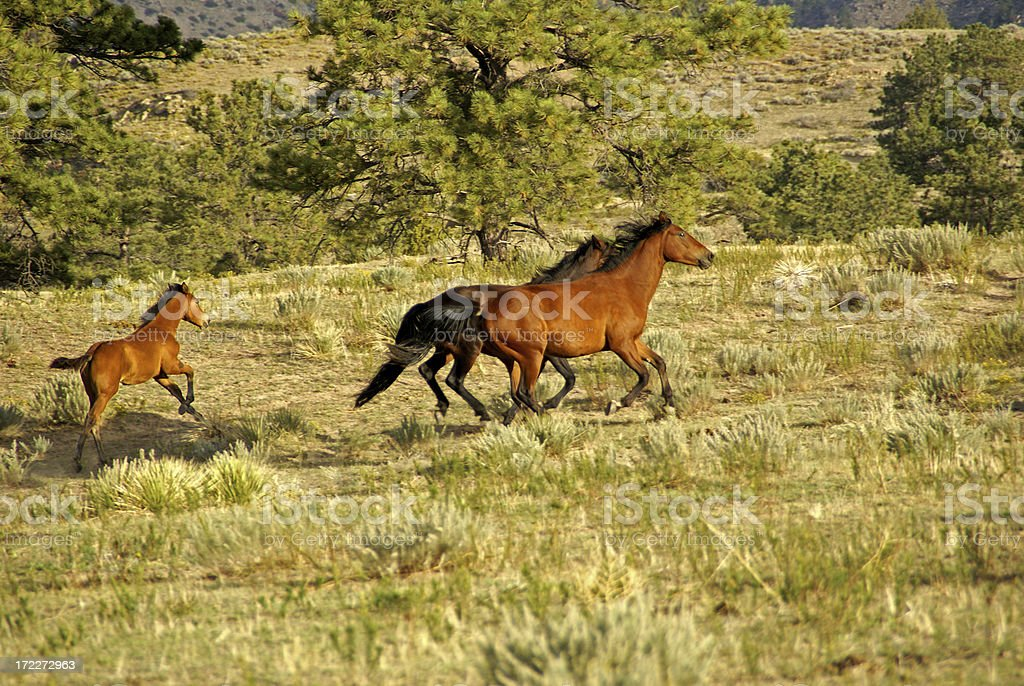 Mustang Mares and Foal royalty-free stock photo