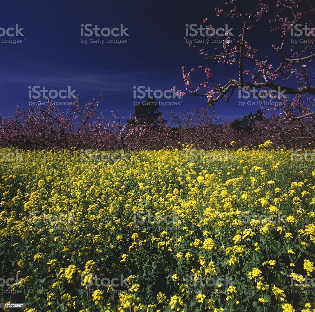 Mustard and Cherry Blossoms, Napa County, CA. royalty-free stock photo