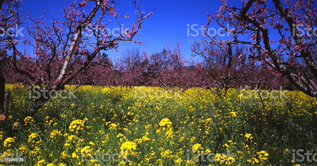 Mustard and Cherry blossoms royalty-free stock photo