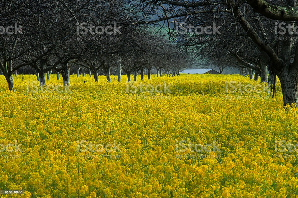 Mustard and Walnut Grove stock photo