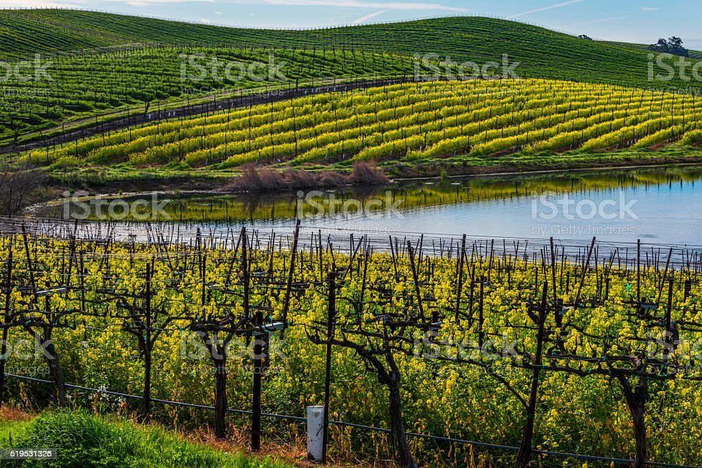 Mustard bloom in Carneros stock photo