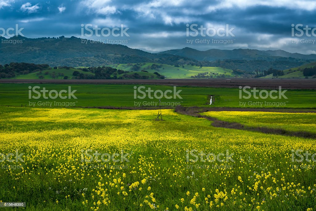 Mustard bloom in Sonoma stock photo