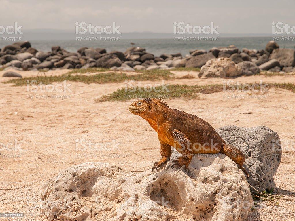Mustard Coloured Iguana stock photo