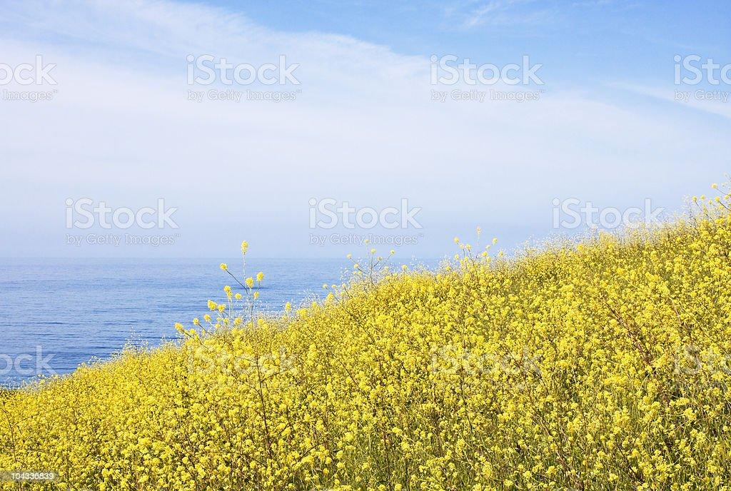 Mustard Field and Ocean stock photo
