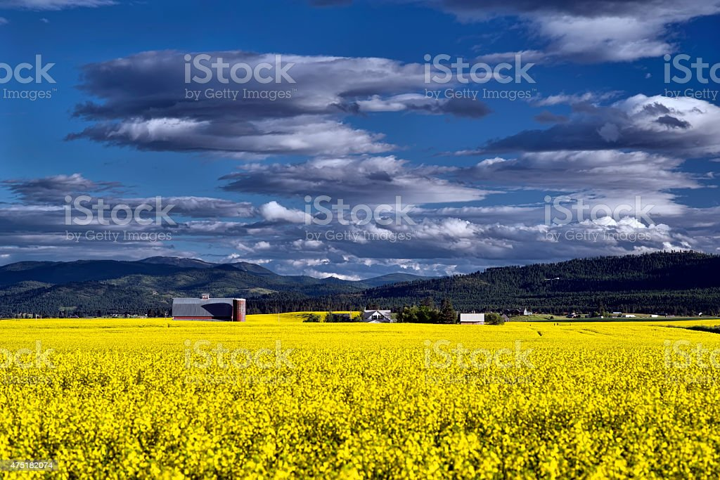 Mustard Field Blooms in Montana stock photo