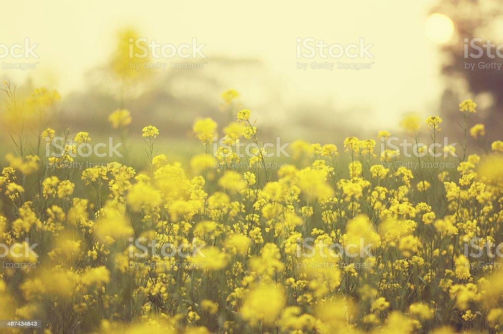 Mustard Field during sunset stock photo