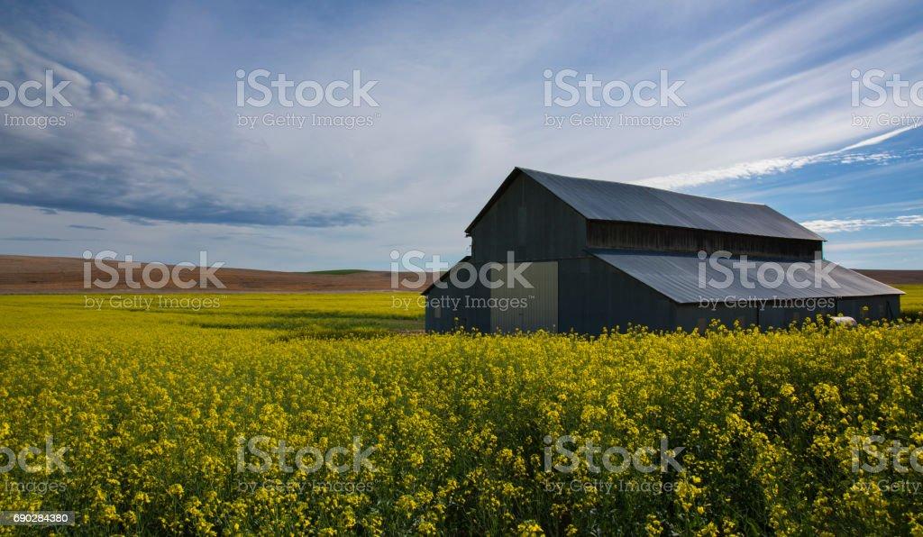 Mustard Field in Palouse stock photo