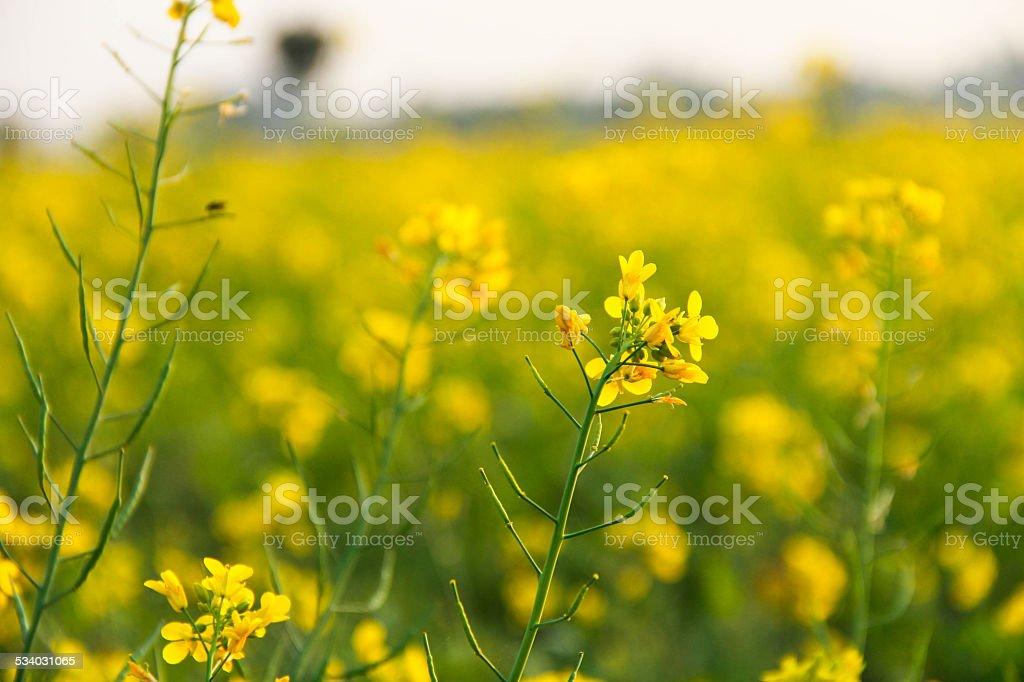 Mustard Field stock photo