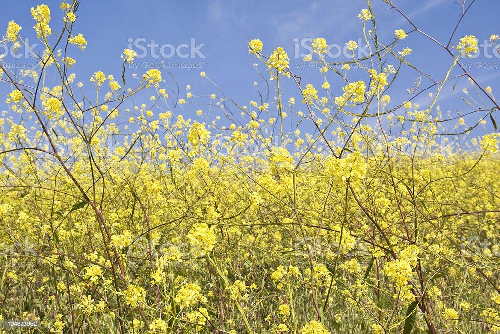Mustard Flower Abstract stock photo