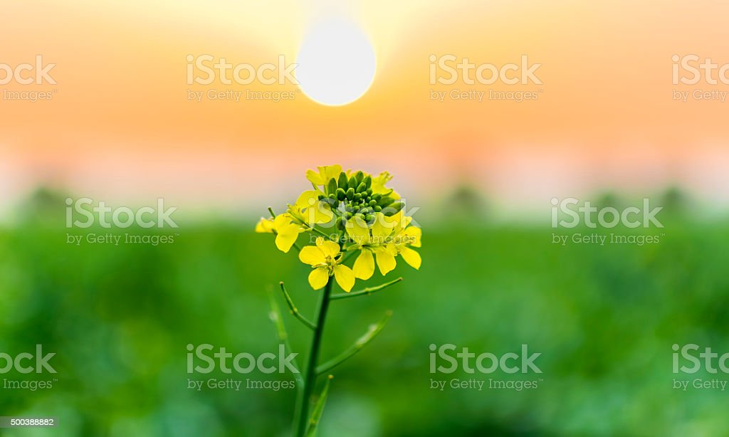 Mustard flower blooms in front of beautifully formed natural tricolor stock photo