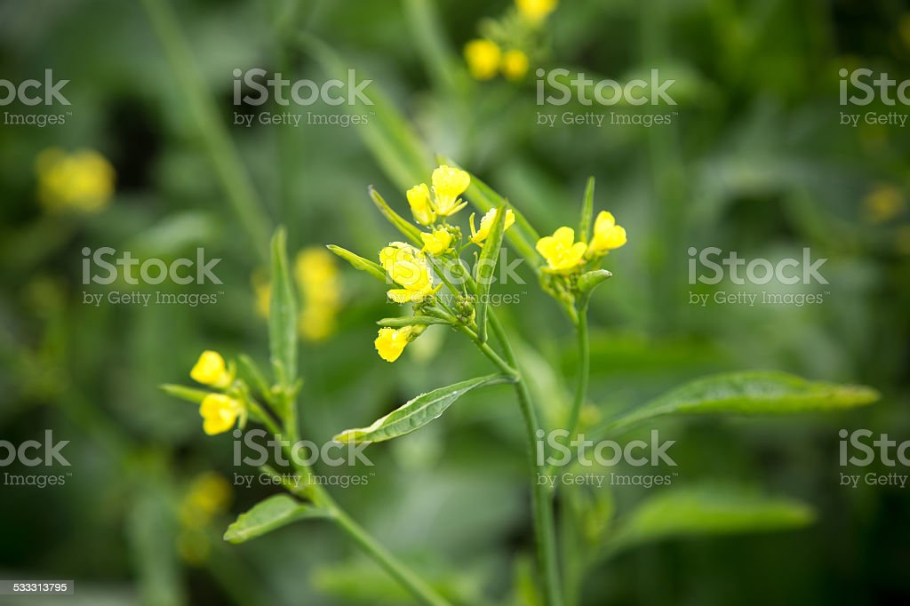 Mustard Flower stock photo