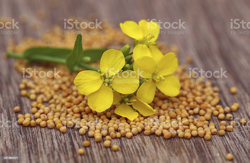 Mustard flower with seeds stock photo