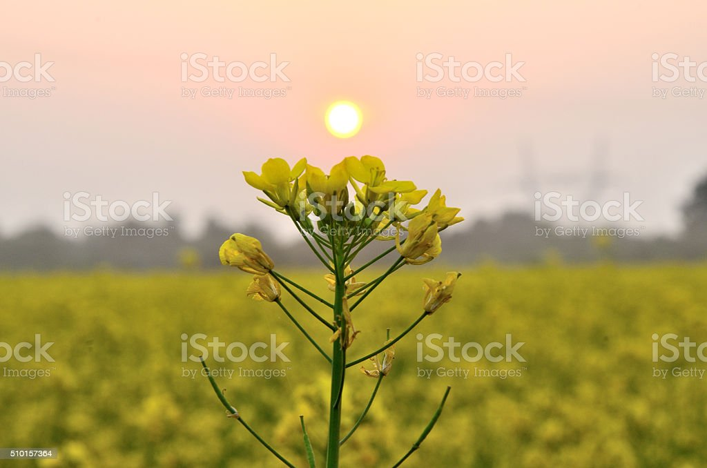Mustard flowering stock photo