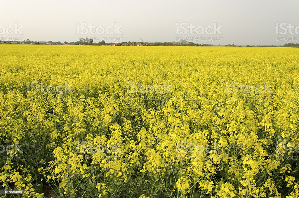Mustard flowers field royalty-free stock photo