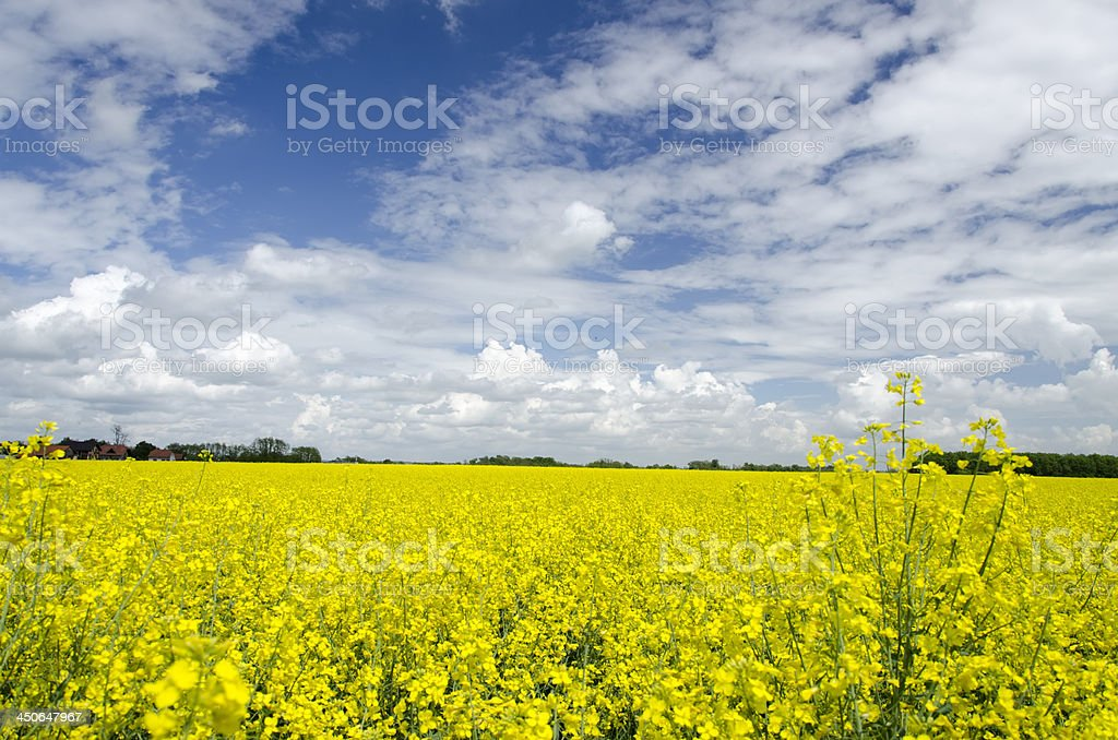 Mustard flowers field stock photo