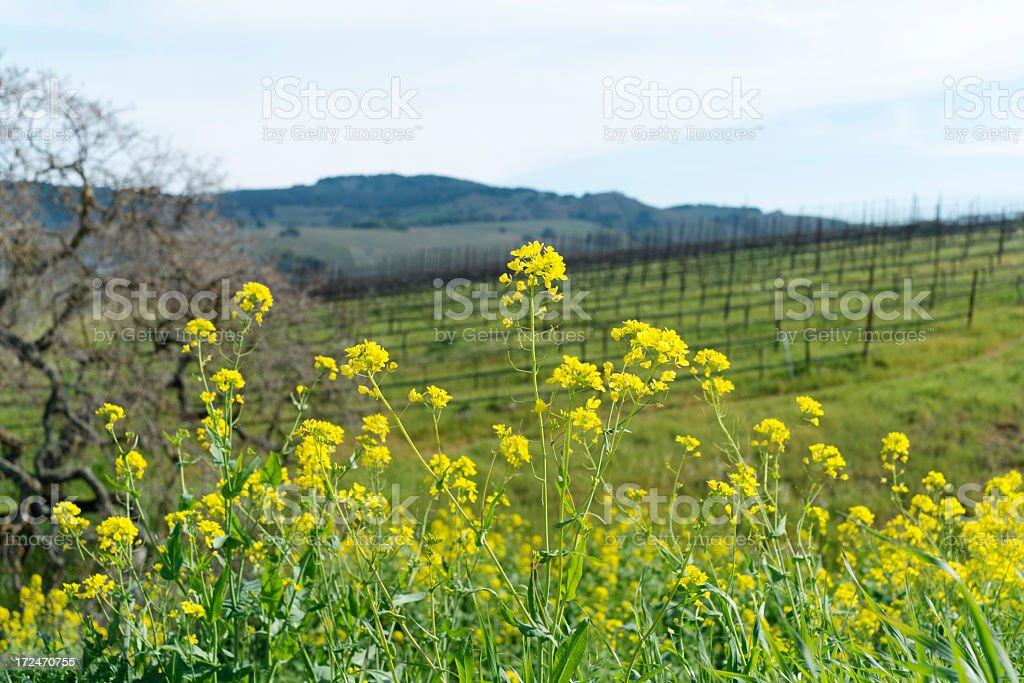 Mustard flowers in Napa royalty-free stock photo
