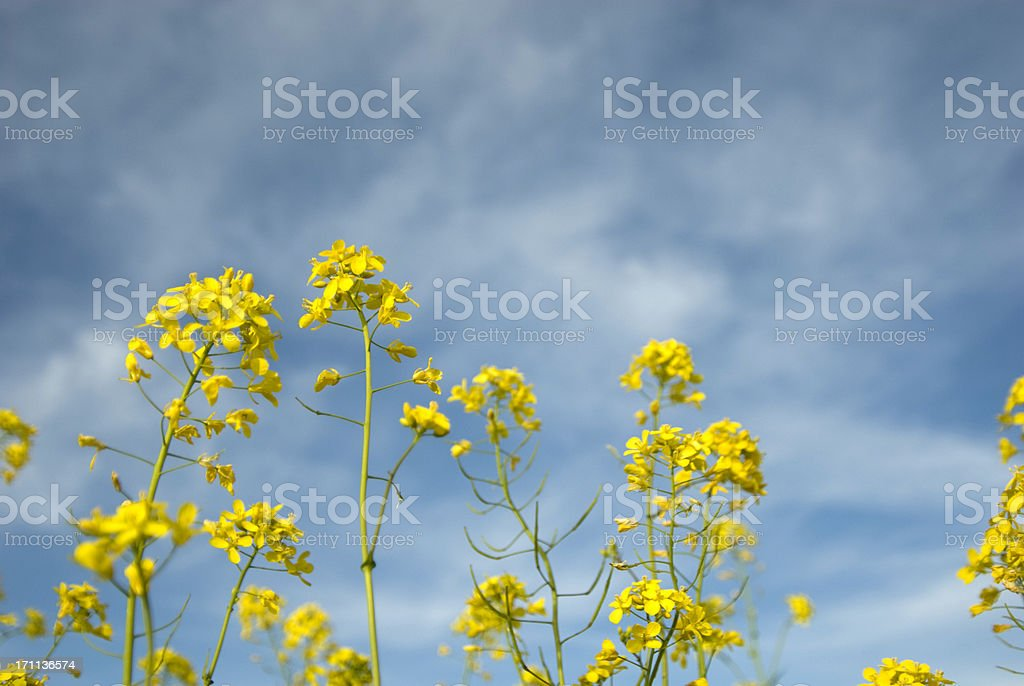 Mustard Flowers royalty-free stock photo