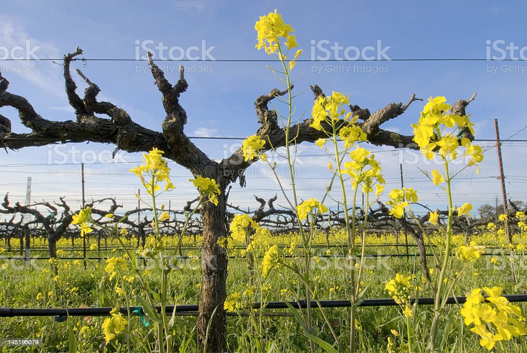 Mustard in the Vineyard stock photo