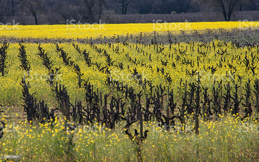 Mustard in Vineyard, Healdsburg, California stock photo