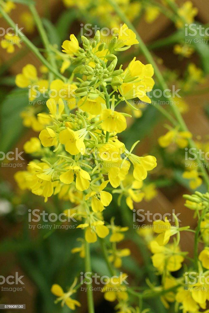 Mustard Leaf, Brassica Juncea, Brassicaceae stock photo