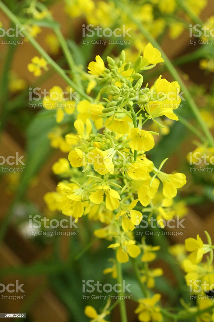 mustard leaf flower - Brassicaceae - Brassica Juncea stock photo