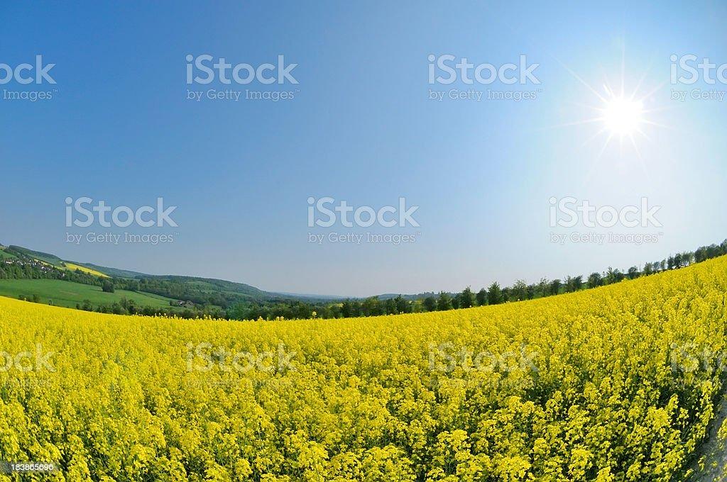 Mustard Plant Field stock photo