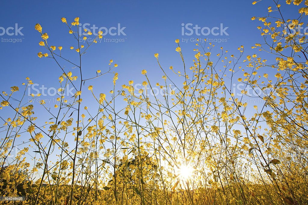 Mustard plant flowers against blue sky at sunrise stock photo