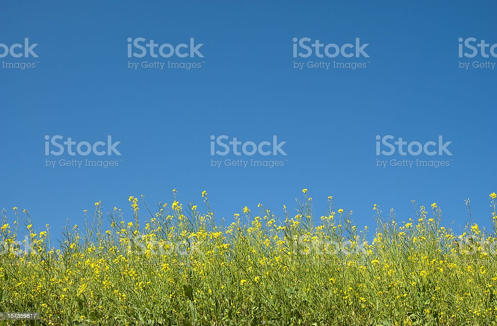 mustard plant in blue sky stock photo