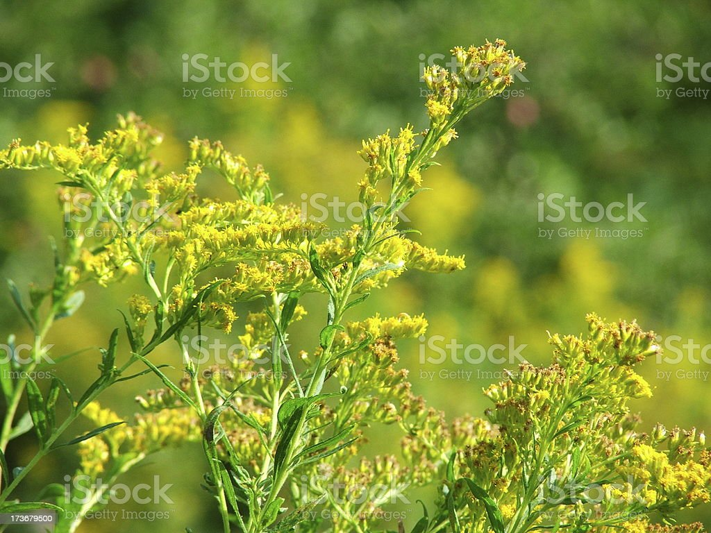 mustard plant royalty-free stock photo