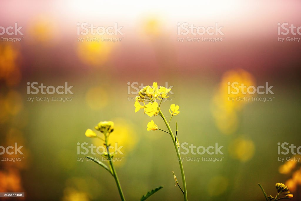 Mustard plant with shallow depth of field stock photo