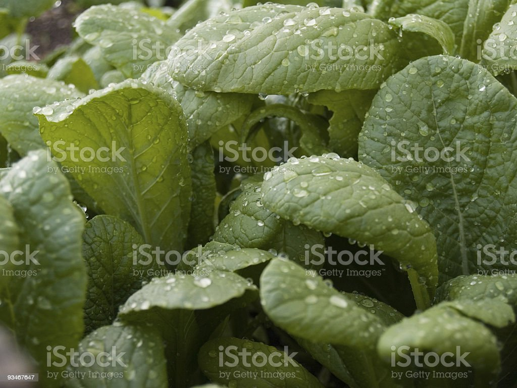 Mustard plants stock photo