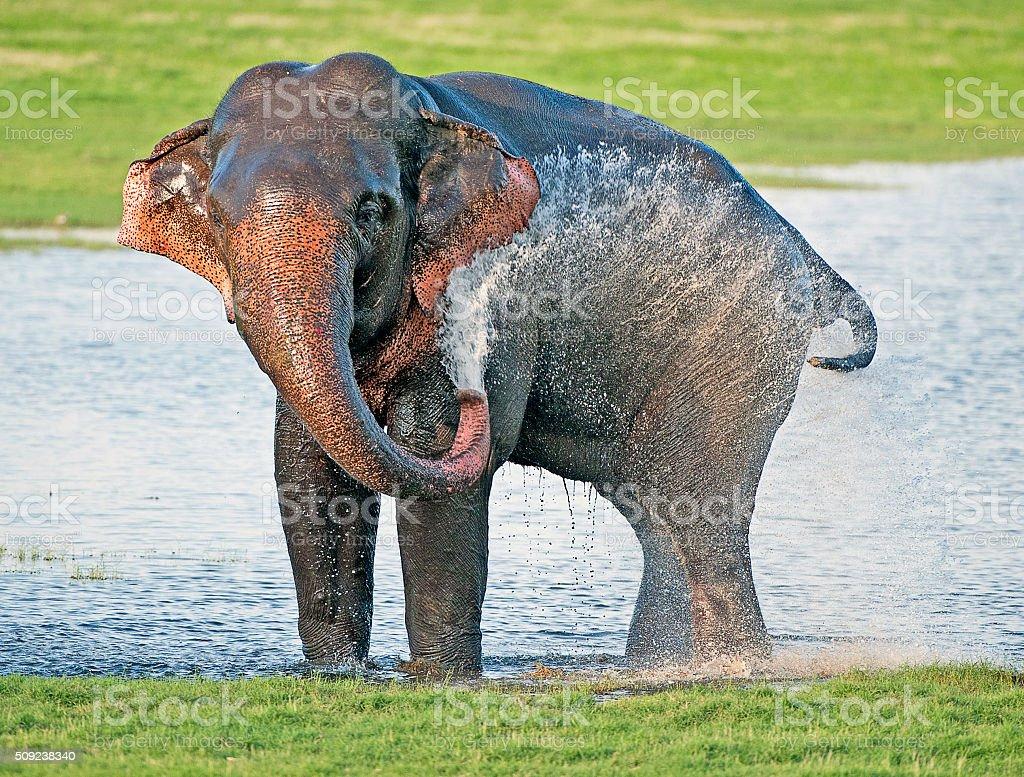 Musth spray, Minneriya National Park, Sri Lanka stock photo