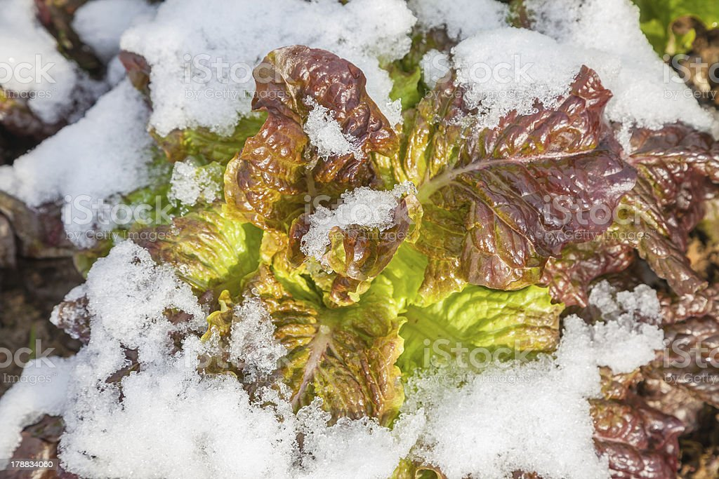 mutated red lettuce under snow stock photo