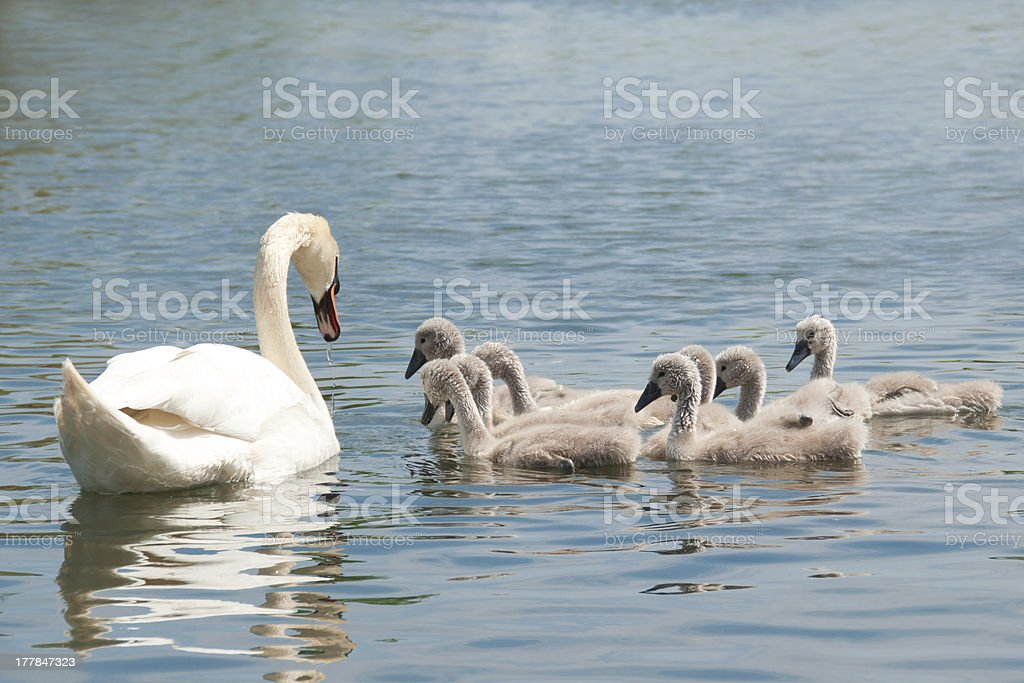 Mute swan and attentive cygnets. royalty-free stock photo