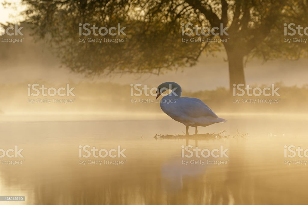 Mute Swan at sunrise stock photo
