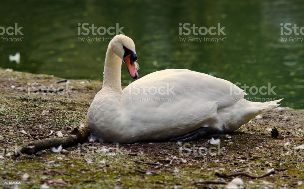Mute swan (Cygnus olor) cleans feathers. stock photo