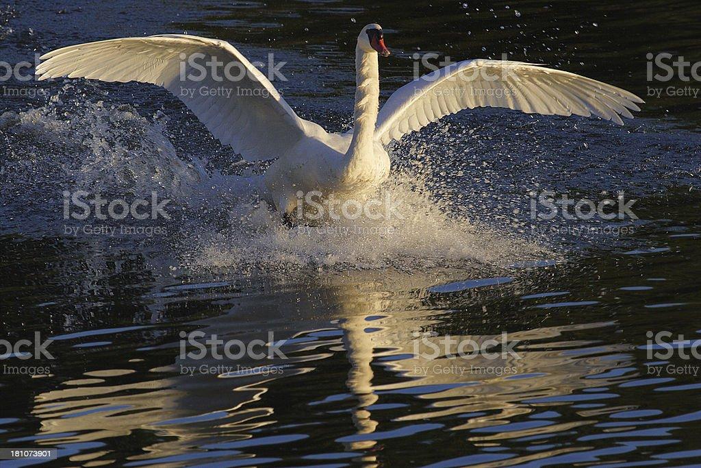 Mute Swan Cygnus olor Anatidae Splash Landing stock photo
