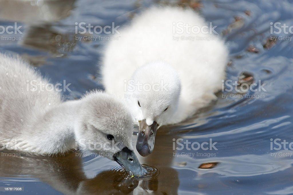 mute swan , Cygnus olor,  chicken stock photo