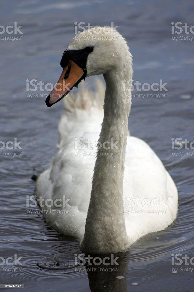 Mute Swan - Cygnus olor royalty-free stock photo