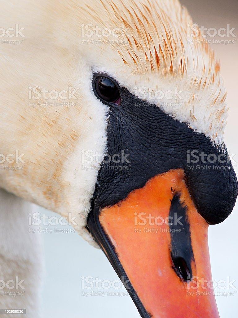 Mute Swan, Cygnus olor royalty-free stock photo