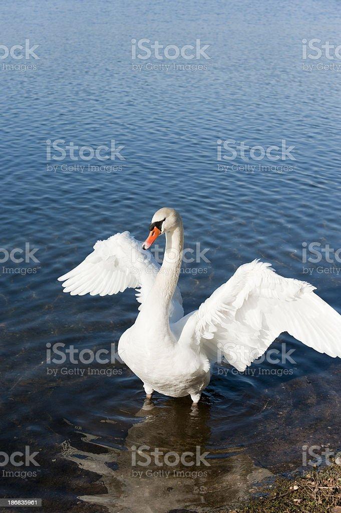 mute swan [ Cygnus olor ] stock photo