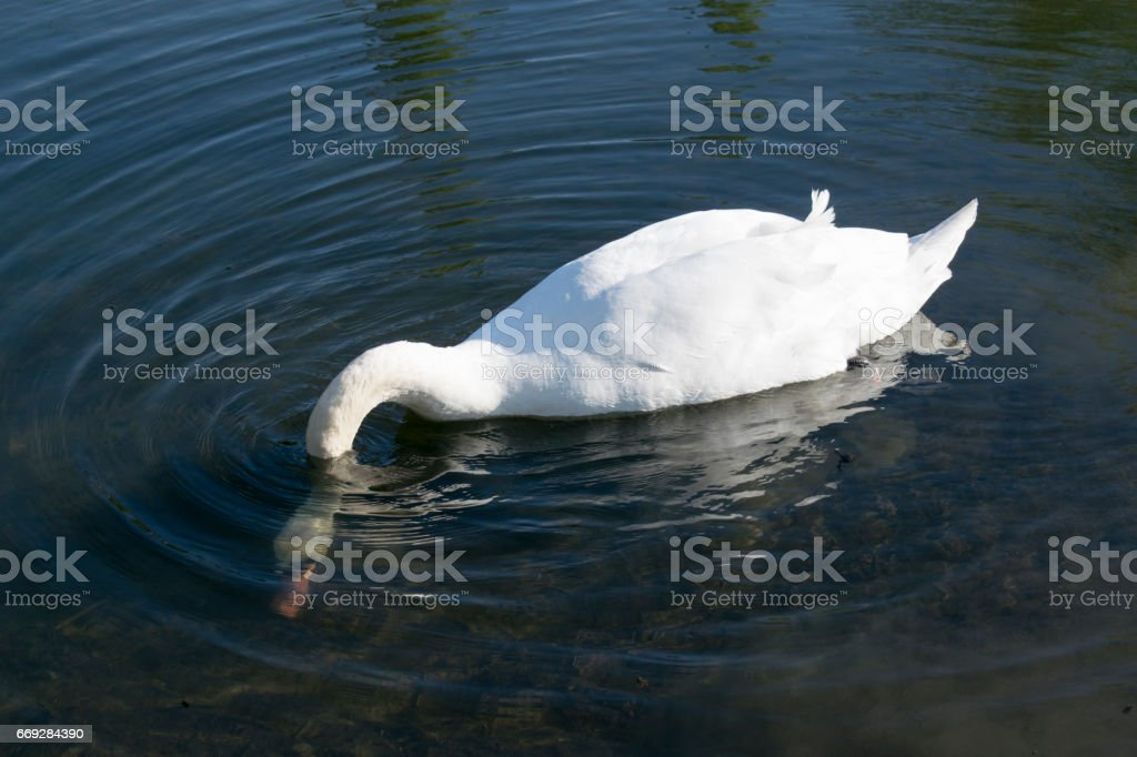 Mute Swan (Cygnus Olor) Feeding With Head In Shallow Water stock photo