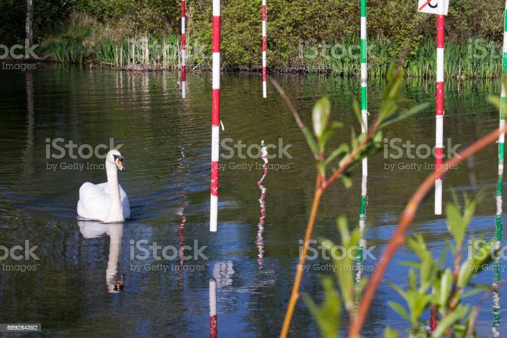 Mute Swan (Cygnus Olor) Going Through Gate On Canoe Slalom Pond stock photo